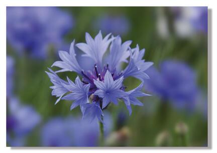 kornblomst strand denmark blue flower webshop